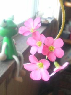 四つ葉だけど花びら5枚